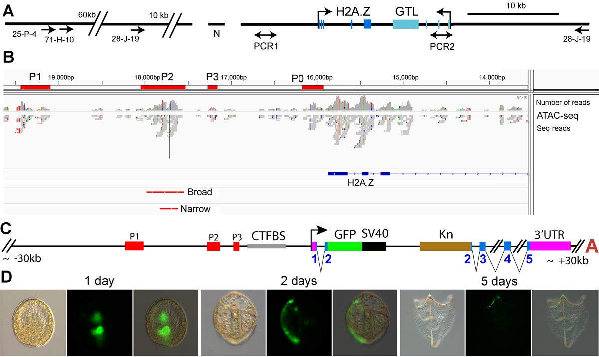 Outline of cis-regulatory analysis of H2A.Z including ATAC-seq data, major BAC recombineering construct and its GFP expression